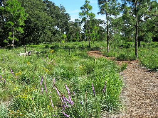 Sandhill plantings at Bok Tower Gardens looking NW.