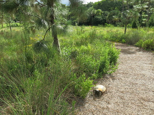 New resident in created Sandhill at Bok Tower Gardens