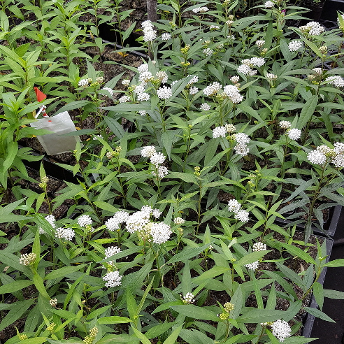 "Asclepias perennis cuttings with ""PredaLure"" patch"