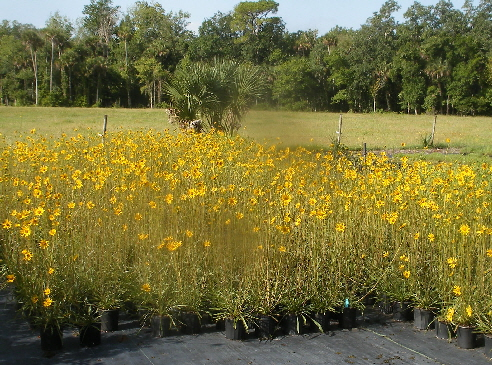 Helianthus carnosus in Mass Bloom